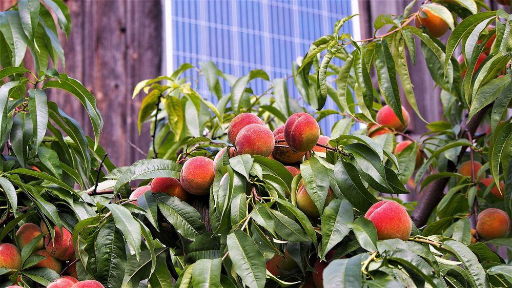 ekologiczne brzoskwinie.JPG