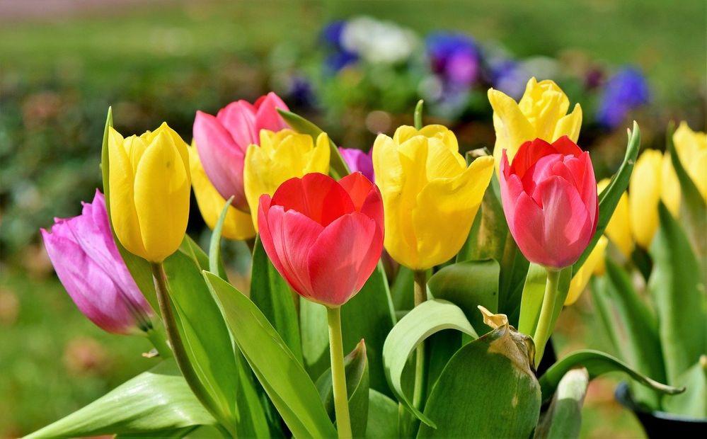 tulip-3287183_1280.jpg